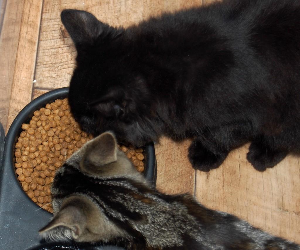 Harringtons kitten food