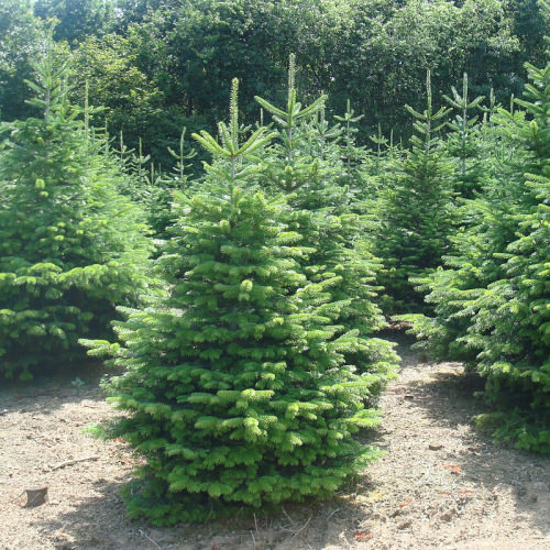 Giveaway Win A 6ft Real Christmas Tree Stand Family Fever