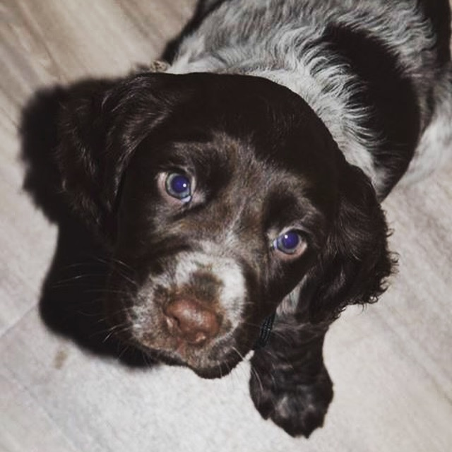 Bella, cocker spaniel, puppy