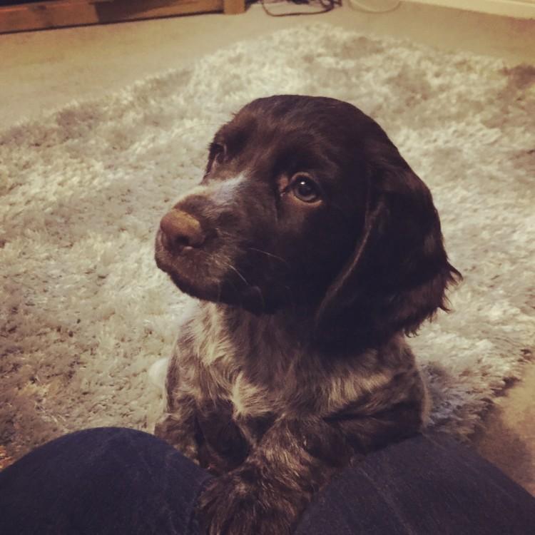 Bella, cocker spaniel, puppy