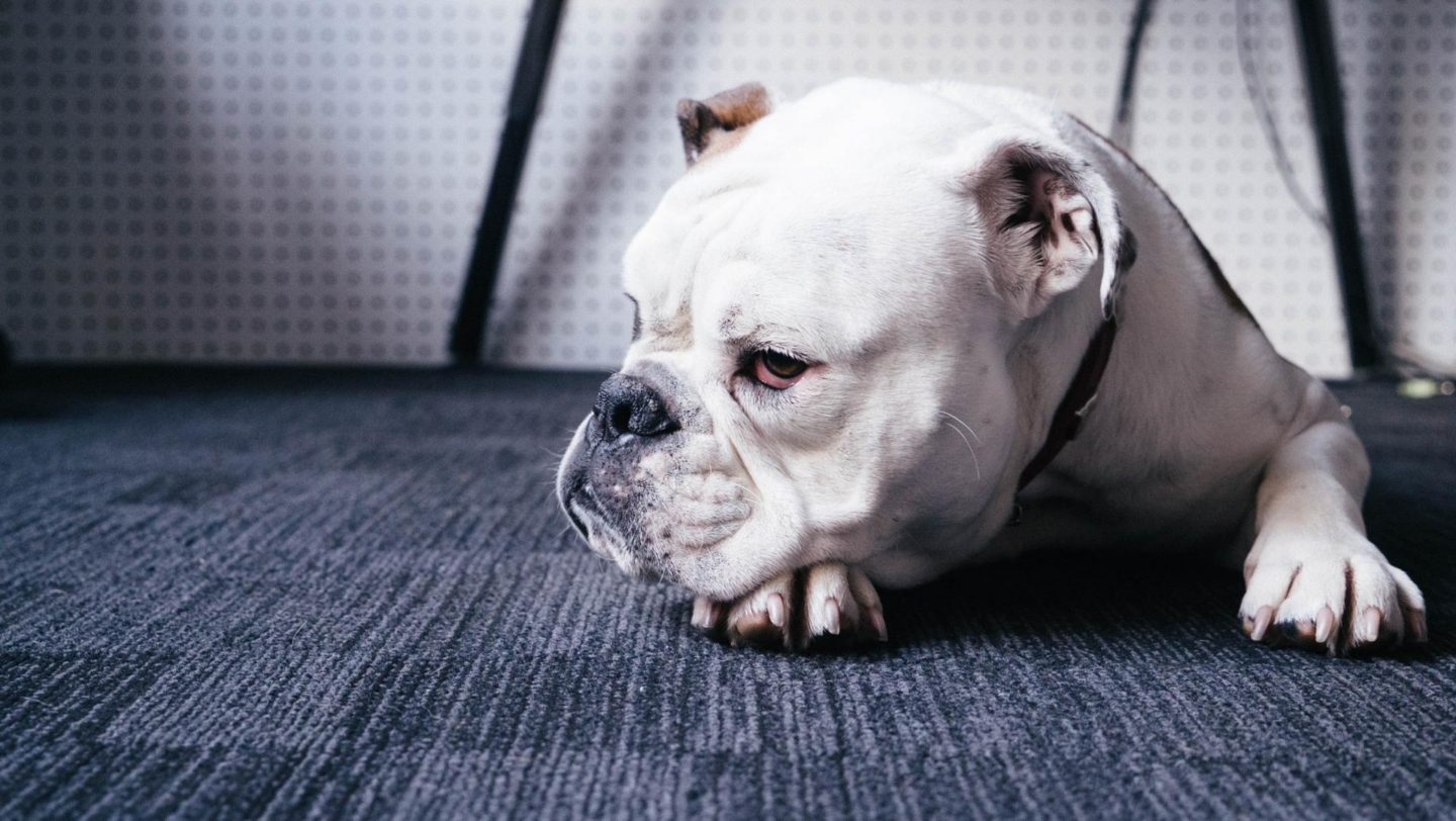 Why your dog may keep getting fleas